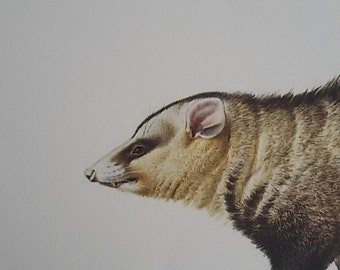 "Possum""Board color"" guided Illustration / natural history Museum"