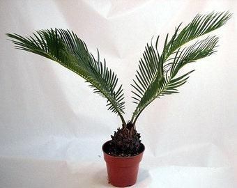 "Japanese Sago Palm - 4"" Pot (Free Shipping!)"