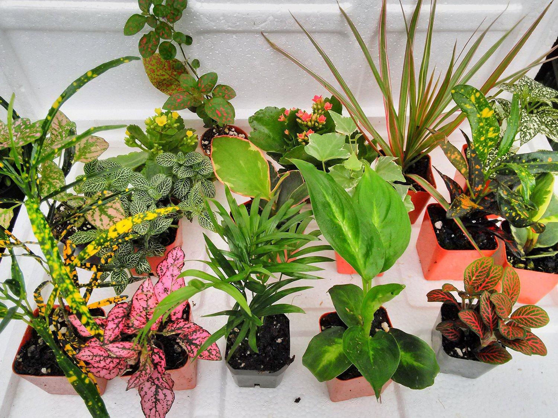 terrarium fairy garden plants 8 plants in 2 5. Black Bedroom Furniture Sets. Home Design Ideas