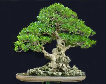 Green Island Fig Ficus microcarpa bonsai live potted plant