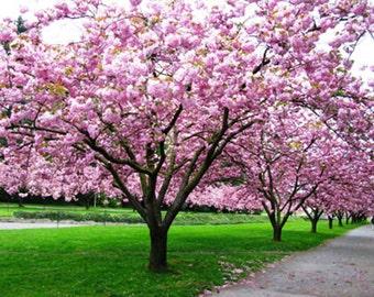 3 Kwanzan Cherry Trees/ Japanese Cherry Tree/FloweringTree/ Bonsai Tree/Shade Tree
