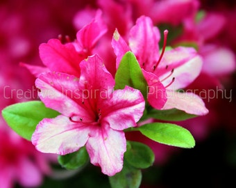 Beautiful Bright Pink Azaleas