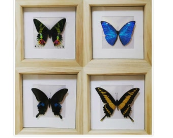 Framed real butterflies and moths insects specimens on simple white pearlescent mount (medium)