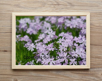 Photograph of blue creeping phlox flowers in a garden, creeping phlox photo, flower photo, purple flower photo, garden photo, nature photo