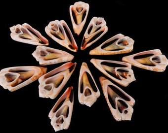 "Lot of 12 Center Cut Strawberry Strombus Shells Craft 1 1/2""-2"" Beach Nautical Seashells"