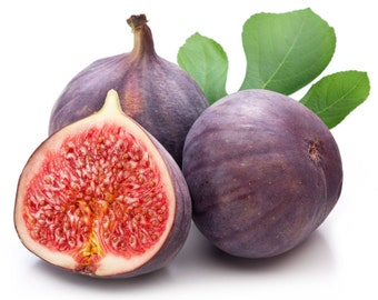 Fig Tree Fruit Common Fig Ficus Carica Seeds 25 PCS LARGE FRUIT! ***Free Shipping!***
