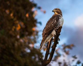 The Sentinel - Wildlife photo of a Hawk sitting on a tree