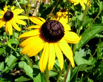 Blackeyed Susans Print