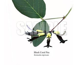 181 Black Coral Pea (Kennedia nigricans)