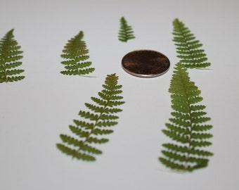 Natural Pressed Ferns