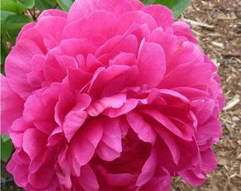 PEONY FLOWER - Felix Crousse - Bare Root Plant