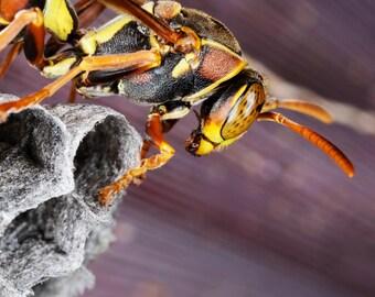 Australian Paper Wasp
