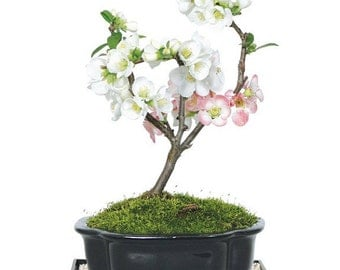 Japanese Flowering Quince Bonsai (Outdoor)