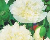 Cream Peony Poppy Flower Seeds/Papaver/Annual   100+