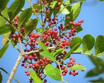 Aphrodisiac Mastic Leaves Loose Leaf Tea Organic 100% Natural Medicinal