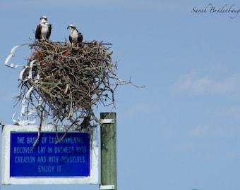 Osprey Pair - FREE SHIPPING US