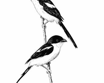Blank Note Card (Shrikes)