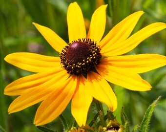 Black Eyed Susan Rudbeckia Goldstrum SEEDS
