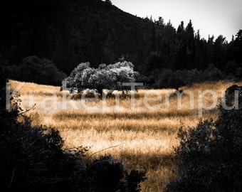 Golden field with Tree
