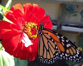 Red Zinnia Seeds - Homegrown Organic - Free Shipping
