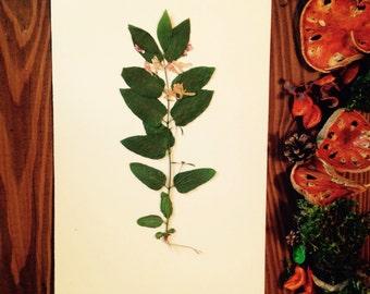 Herbarium 31