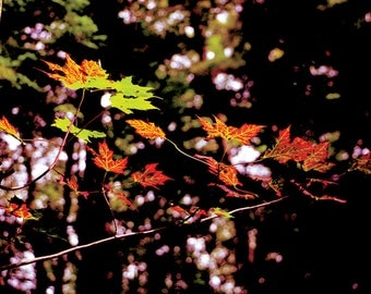 HQ Maple leaves photograph fall downloadable red black green