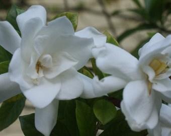 Fragrant Flowers ~ Gardenia 'August Beauty' ~ Live Plant