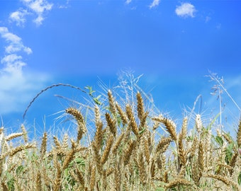 Digital background backdrop | Landscape nature photography cereals wheat field sky cloud iphone wallpaper