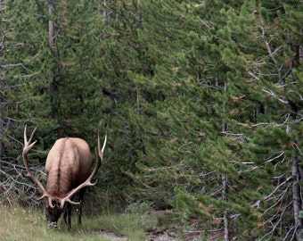 Elk, Grand Teton, Yellowstone, Wildlife Photography