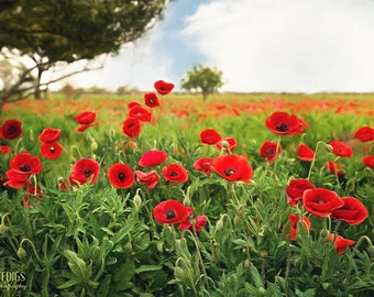 Hill Country Poppies