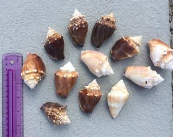 12 Florida Fighting Conch Shells #0001