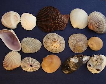 Sea shell mix-italian sea shells-# 016