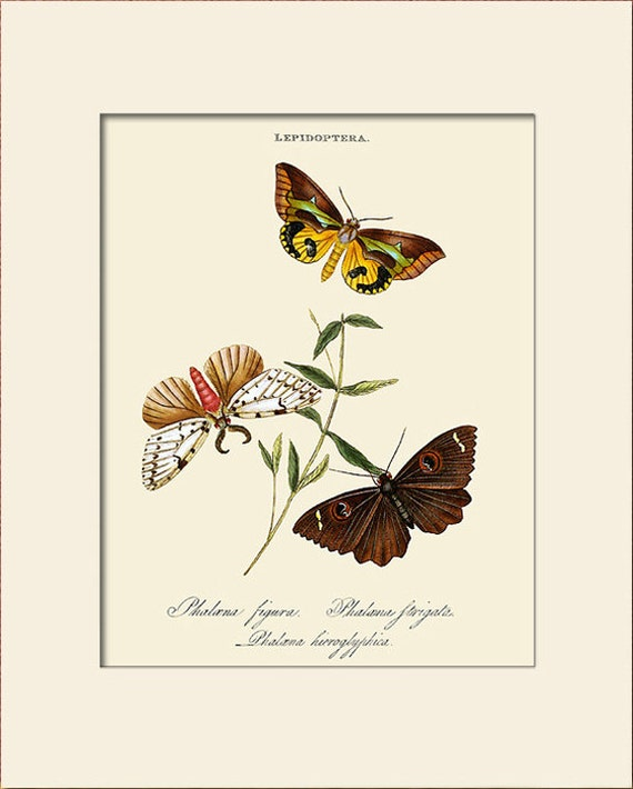 Butterfly Art Print with Mat, Plate 48, Donovan, Papilio Figura, Natural History Illustration, Wall Art, Wall Decor, Butterfly Print