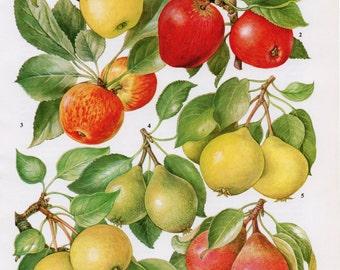 1960's Vintage Apple and Pears Print - Vintage Apple and Pears Lithograph, Fruit Print, Fruit Lithograph, Colourful Print, Vintage Print