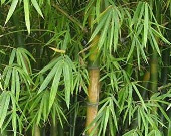 Bambusa Arundinacea, Giant thorny bamboo 10 Seeds - Great screening plant, intensive growth