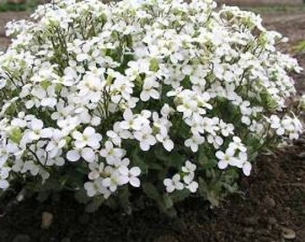 Arabis Alpina Snowcap, White Rockcress 75 seeds