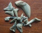 assorted early Miocene fossil sharks teeth