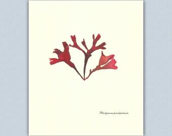 Seaweed art, pressed Seaweed, Victorian Botanical-Nautical  Art, beach cottage decor, coastal living,Ocean sea weed, educational  8x10