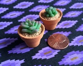 Tiny Succulents