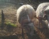 NAVAJO CHURRO Sheep  1 month virtural adoption 6 skeins