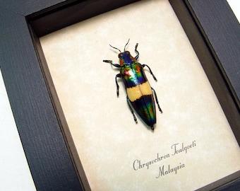 Real Chrysochroa Toulgoeti Framed Metallic Wood Boring Beetle 2503
