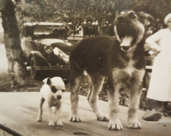 Vintage Photo Mutt dogs on the table Picnic 1920s americana history