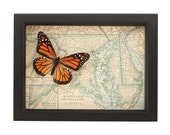 Framed Map Maryland with real Native Monarch Butterfly