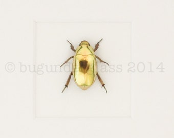 Framed Gold Scarab Beetle Insect Taxidermy