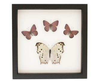 Framed Butterfly Collection Real Insects