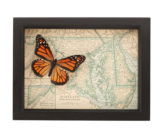 Maryland Native Plants: Framed Map Maryland With Real Native Monarch Butterfly