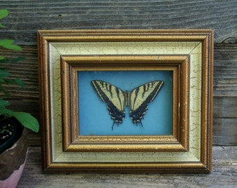 Stunning, Real, Taxidermy, Framed Butterfly Wall Picture, Decor