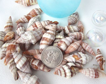 "Beach Decor Seashells - Nautical Decor Shells - Common Mitra Sea Shells - Beach House Decor - Beach Wedding Shells -  .75-1.5"" - 12 PC"
