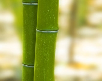 Two green bamboos together. Fine Art Photography.