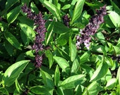 Thai Lime Basil Herb Seeds